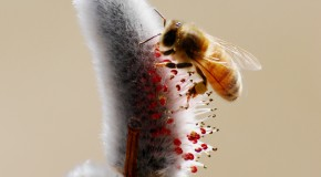 The Importance of Honeybee Health to Humans
